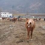 cavalli sequestrati Vogogna