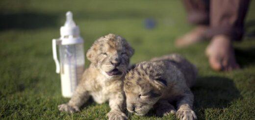 Morti i due Leoni nati nello zoo di Bissane
