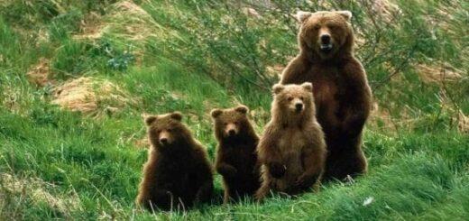 La liberazione degli orsi trentini