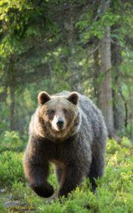 spostamento orso trentino