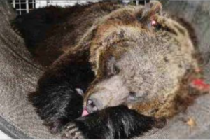 L'Orsa Dj3 rapita e portata in uno zoo tedesco