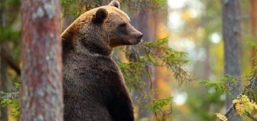 orso-bruno-diffidati-Matteo-Salvini-e-Maurizio-Fugatti-provincia-di-Trento-
